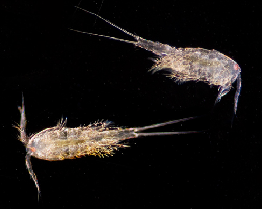 Zeewater copepoden