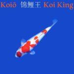 KoiO Koi King